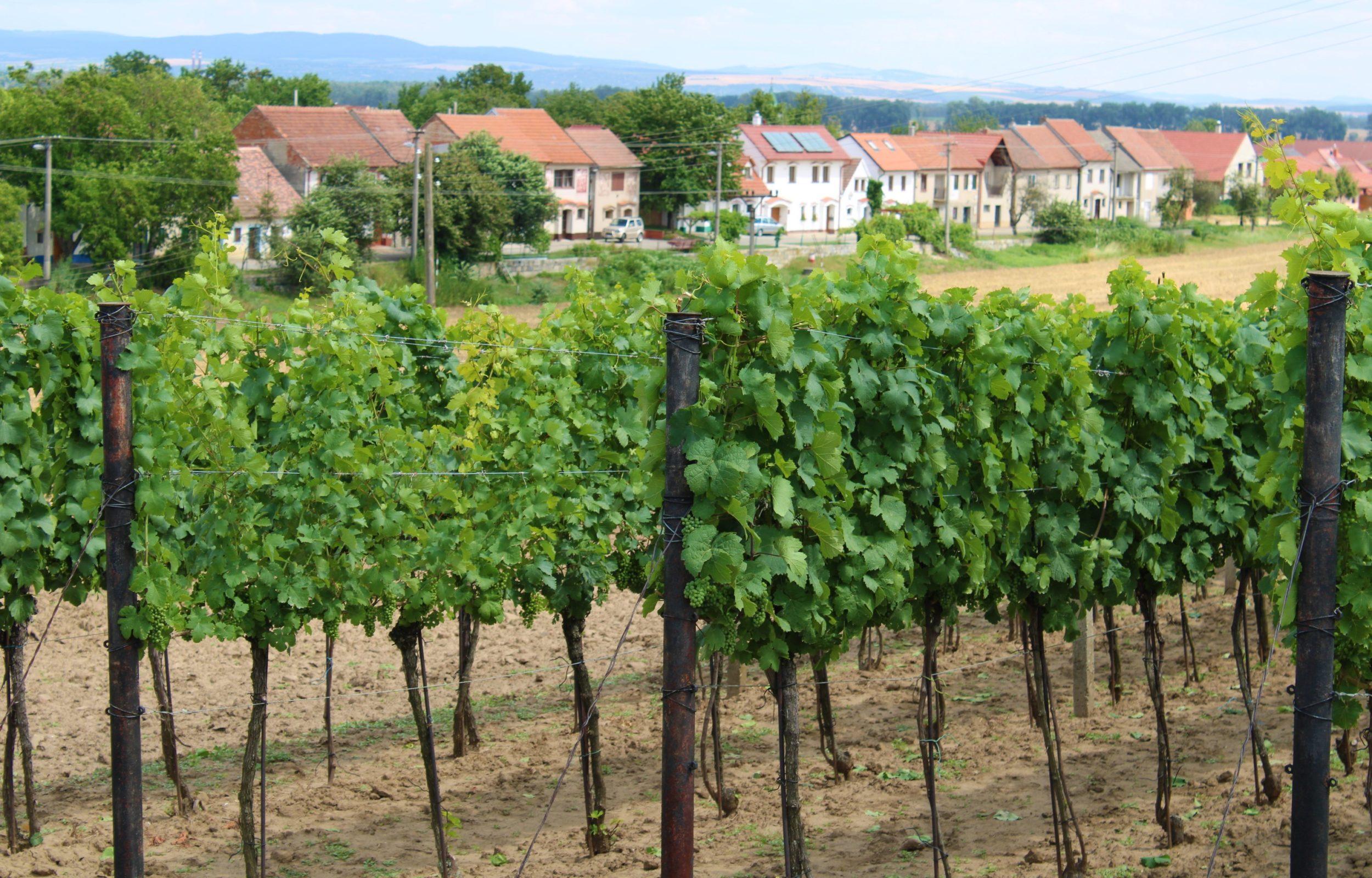 Slováckými vinohrady projdou tisíce turistů. S burčákem v ruce