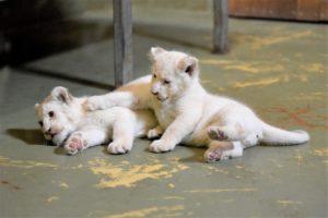 Fanoušci zoo mohou vzácná lvíčata zatím sledovat jen na internetu FOTO