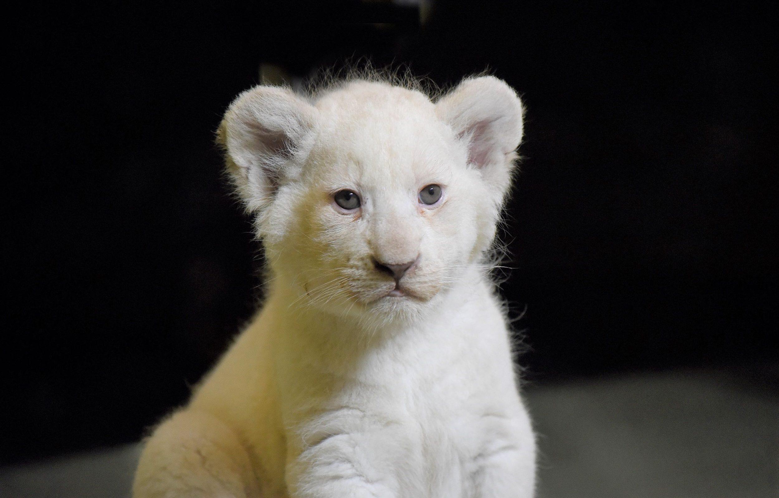 Fanoušci zoo mohou vzácná lvíčata zatím sledovat jen na internetu